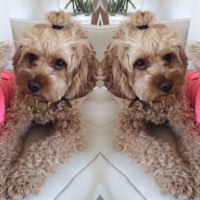 狗狗发型哪种最流行,看看欧美社交网站上晒狗照