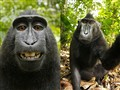 猴子也爱玩自拍?肖像版权归属惹争议