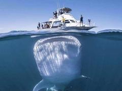 太震撼了!摄影师拍摄到潜藏在游船下面的巨型鲸鲨