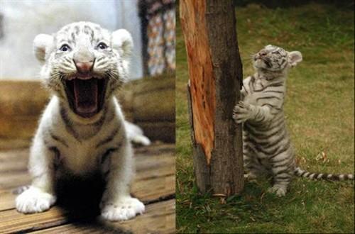 09年岁末,广州香江野生动物世界一只3个月大的小白虎成为《梦幻西游