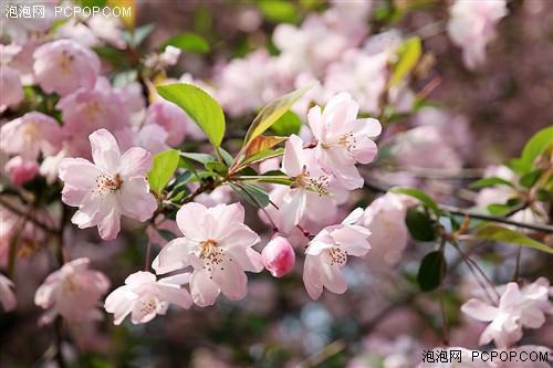 记录烂漫樱花时节 三星NX30试用体验