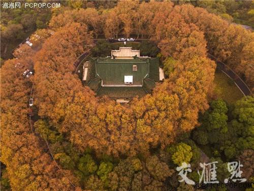 南京的梧桐树上,叶子挂枝头