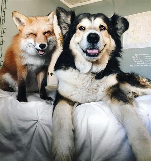 狗狗爱上狐狸 主人拍