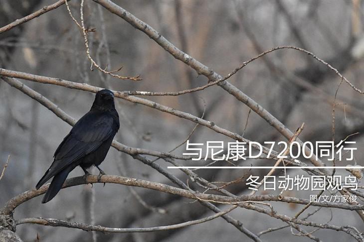 与尼康D7200同行 北京动物园冬日观鸟