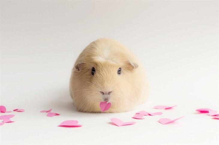 荷兰猪的图片大全