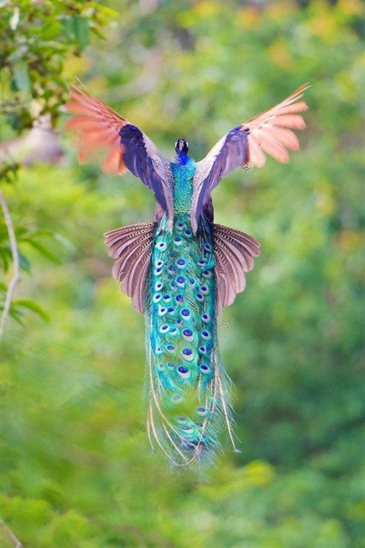 看过开屏 但你拍过孔雀飞翔的照片吗_-泡泡网