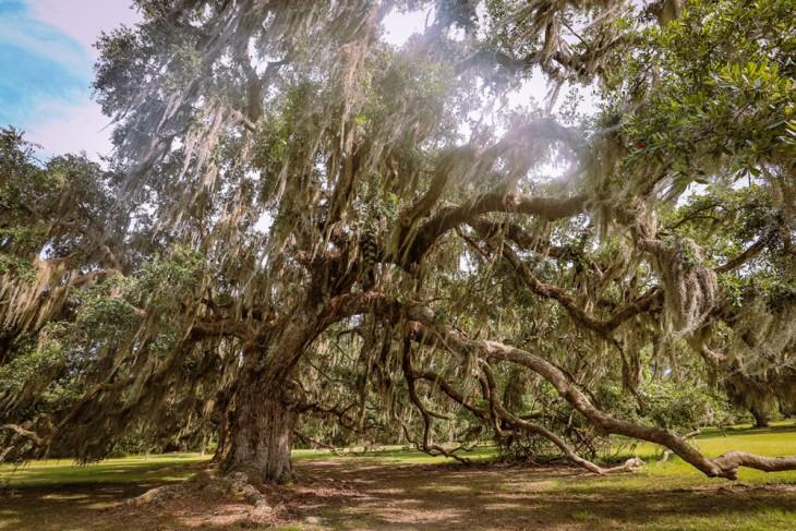 长满苔藓的橡树