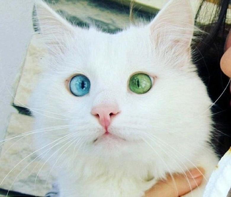 阴阳眼的猫咪可以通灵?---说说猫咪的虹膜异色
