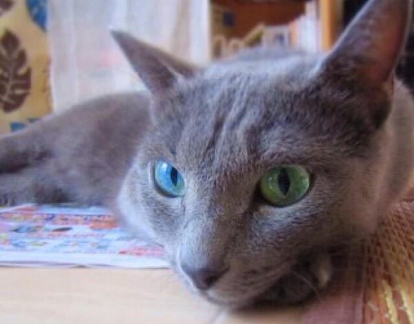 鸳鸯眼的俄罗斯蓝猫