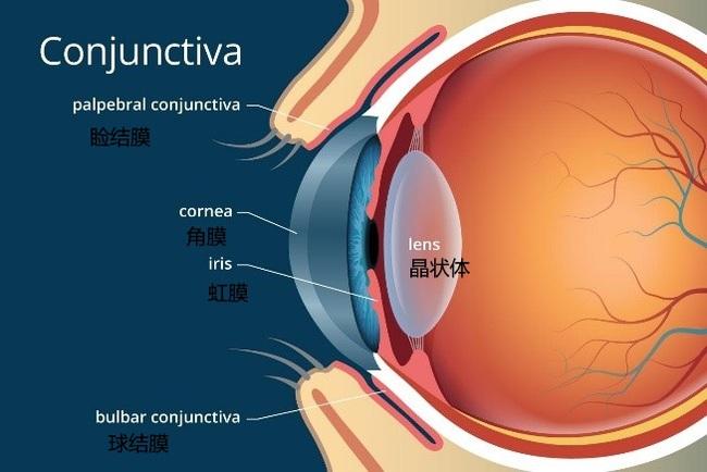 眼睛结构(原图出处:allaboutvision)  相应的,在结膜内,存在着杯状