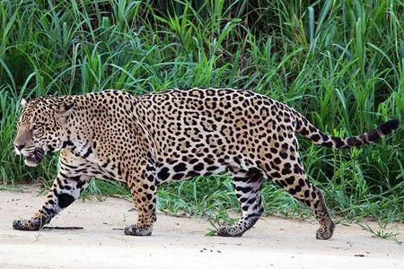 是南美大陆现存最大的食肉动物,主要栖息于亚马逊热带雨林中,北美的