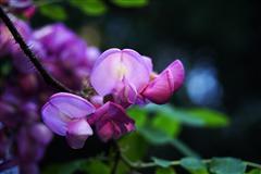 又闻槐花香 紫色/白色槐花全高清图赏