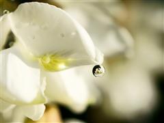高清微距作品 肉眼难见的槐花与露珠