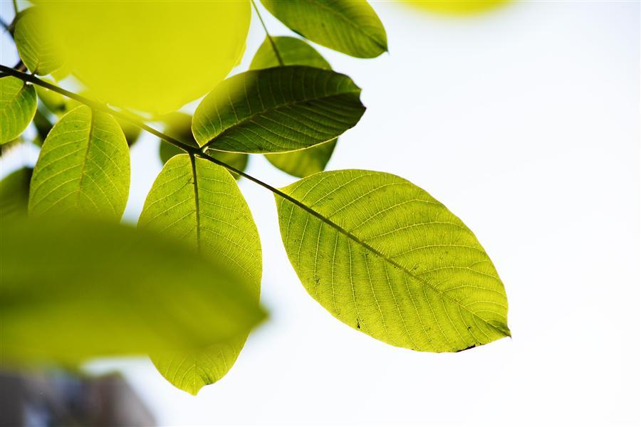 背景 壁纸 绿色 绿叶 树叶 植物 桌面 900_600