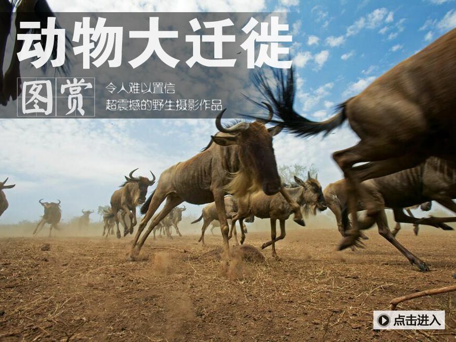 难以置信的动物迁徙