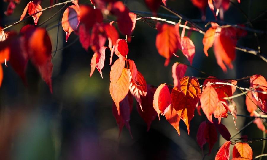 秋风吹过,红叶树摇曳飞舞,极具动感与活力.